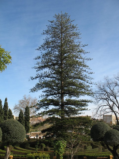 Large Norfolk Pine tree | This is a large Norfolk pine ...