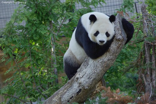 Tian Tian, he looks so sweet in this pose :) | by foocheung