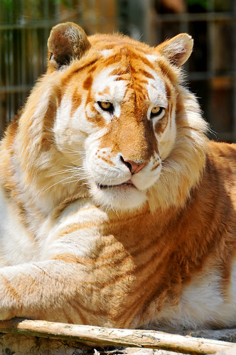 Lying golden tiger | by Tambako the Jaguar