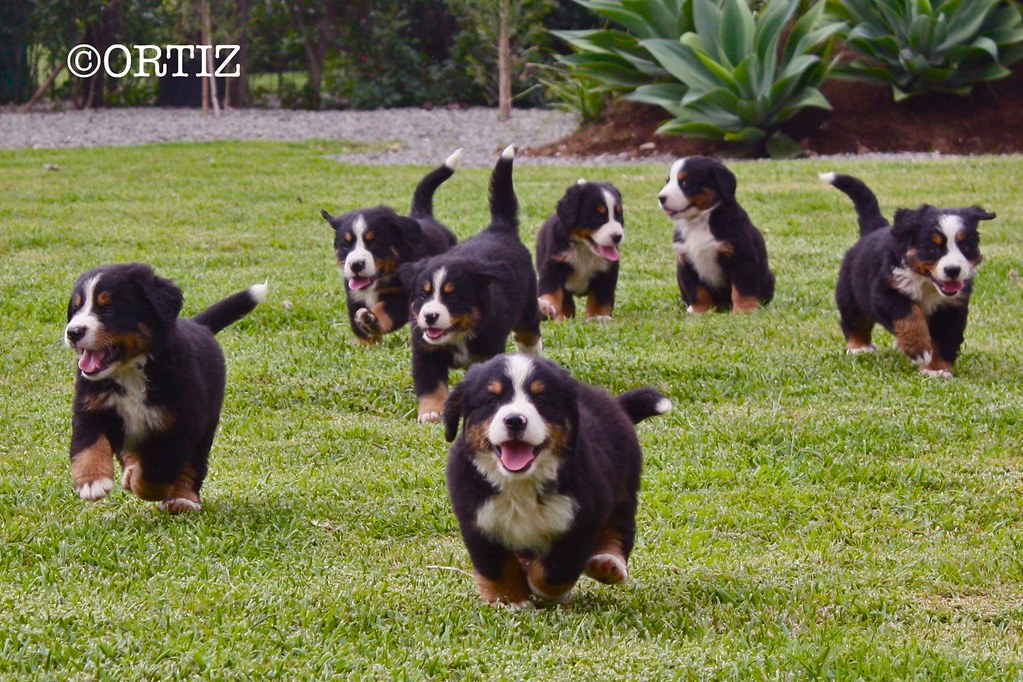 30 Cute Bernese Mountain Dog Puppies Fallinpets
