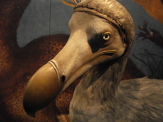 Grumpy, Old, Dead and Stuffed Dodo | by allispossible.org.uk