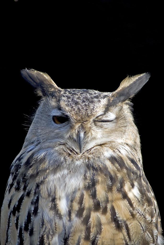 Winking Owl | Winking Owl | Daz Danks | Flickr