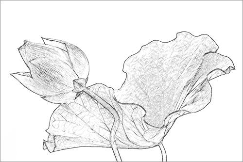 Lotus flower imgp0728 sketch lotus flower sketch penci flickr lotus flower imgp0728 sketch by bahman farzad mightylinksfo