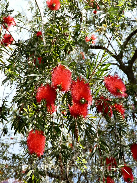 bottlebrush 1