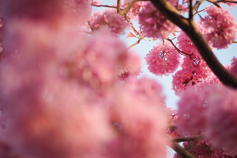 紫花風鈴木|Impetiginosus