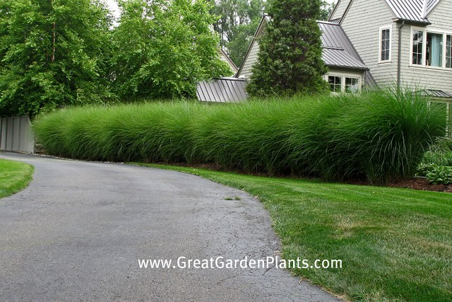 Ornamental grass hedge flickr photo sharing for Tall grasses for privacy