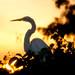 Blue Heron in Sunrise