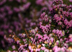 Winter Heather | by ^^AodhagáinArt ^^
