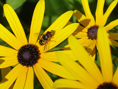 Black-Eyed Susan & Friend | by Creepella Gruesome