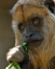Howler Monkey | by crawdog