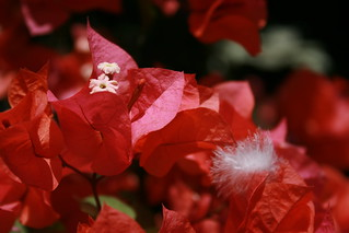 Red Bougainvillea | by justavessel