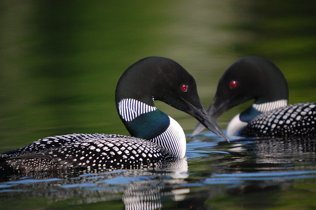 Common Loons By Gary J Wege 2nd Place In The 2009 Photo