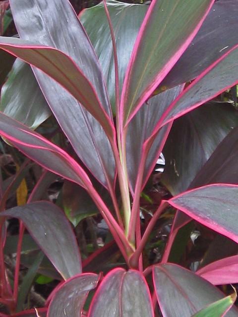 Cordyline fruticosa cv. 'Red Edge' (Ti Plant) | Family ...