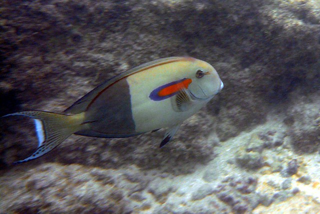 Snorkeling with tropical fish hanauma bay oahu hawaii for Tropic fish hawaii