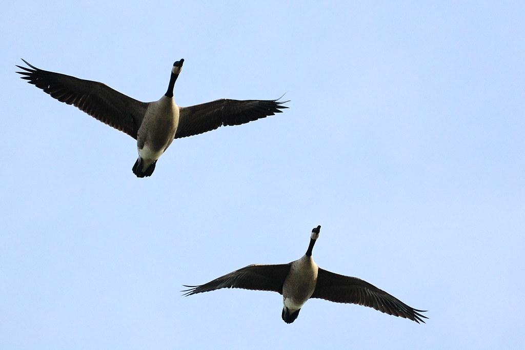 Canada goose bird flying