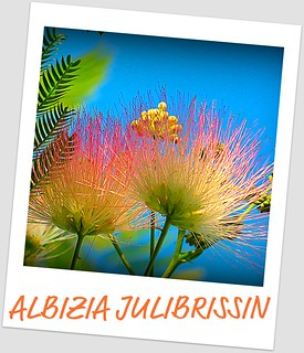 MIMOSA (SILK TREE) ALBIZIA JULIBRISSIN | by jawadn_99