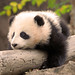 Little Zhen Zhen dreaming of tree climbing and fruitsicles