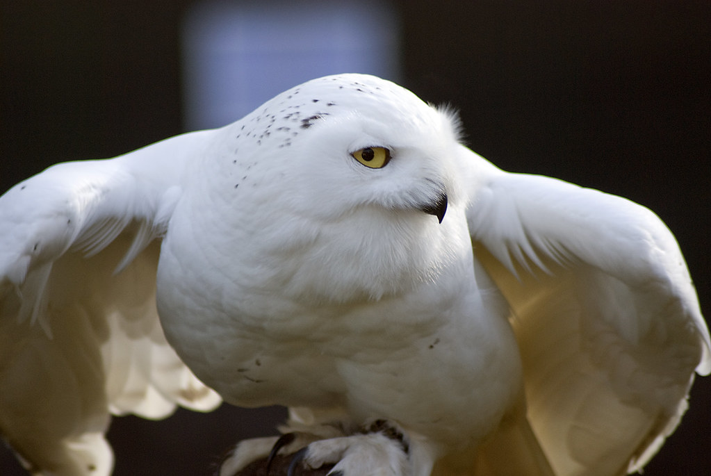 Snowy Owl Snowy Owl With Wings Slightly Out Daz Danks