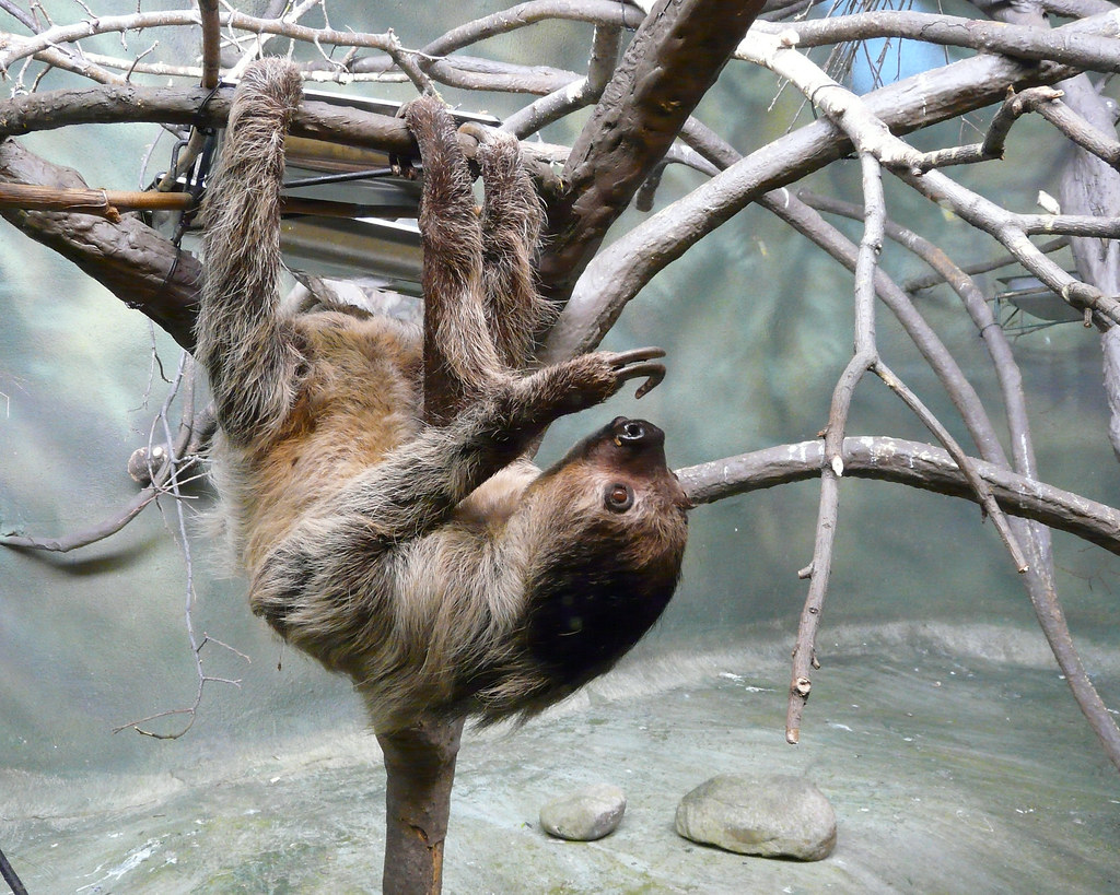 a study on sloths a slow moving mammal Animals and sleep: how many hours  for example, in captivity the slow-moving sloth sleeps for about 16 hours per day but a team of scientists went to a rainforest to study sloths they found that brown-throated, three-toed sloths slept for less than 10 hours per day in their natural environment.