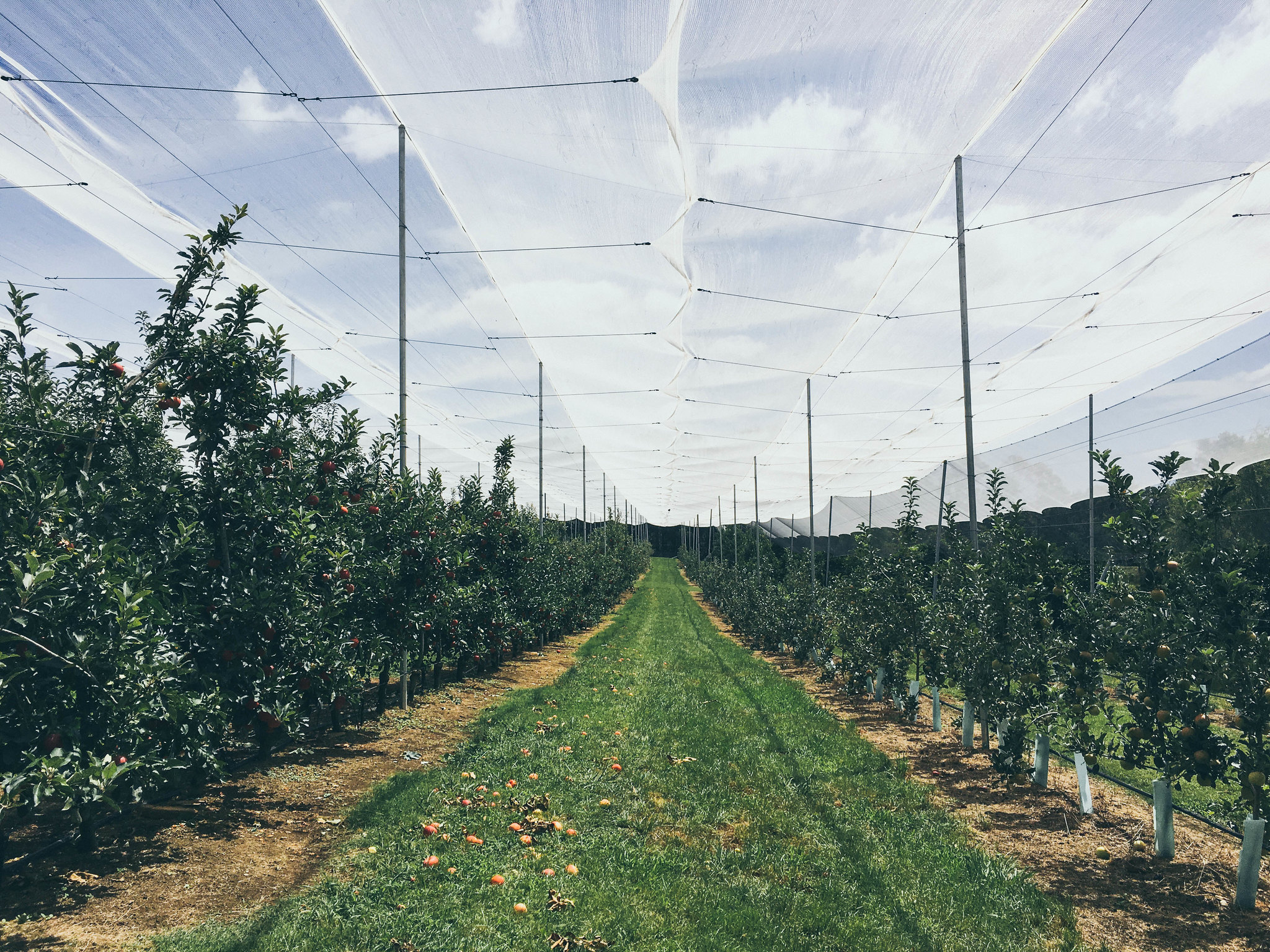 Fruit picking at Bilpin Springs Orchard