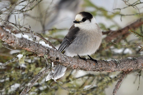 Daks, NJ: Gray Jay Observing