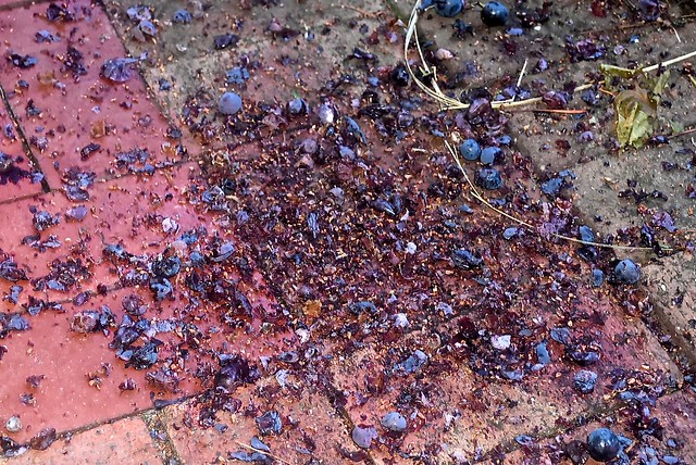 Evidence that a rat has been feasting on our grapes.