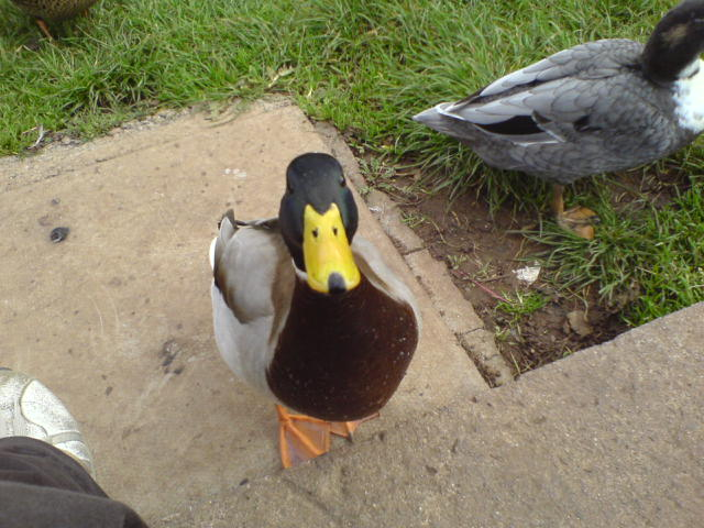 Ducks are funny looking things | He appears to have a ...
