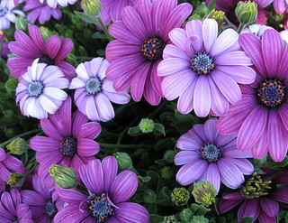 Purple African Daisies. | by JannK
