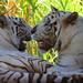 White Tiger (Panthera tigris rigris).