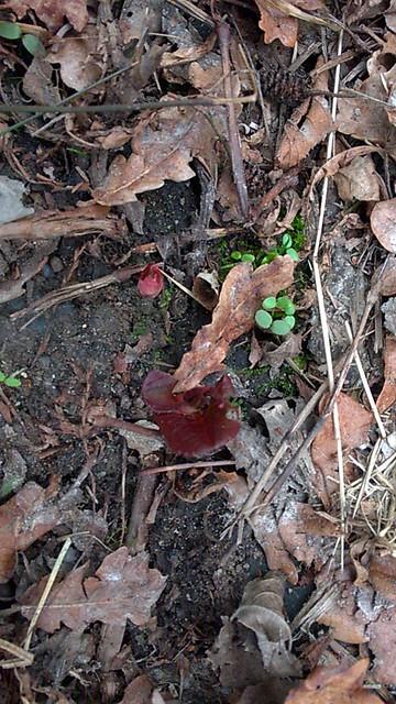 Reynoutria japonica = Fallopia - renouée du Japon - Page 2 32945846991_76fcd63286_z