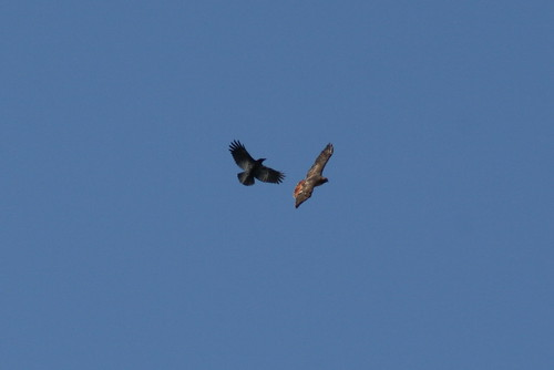 Red-tail vs Crow | by Birdfreak.com