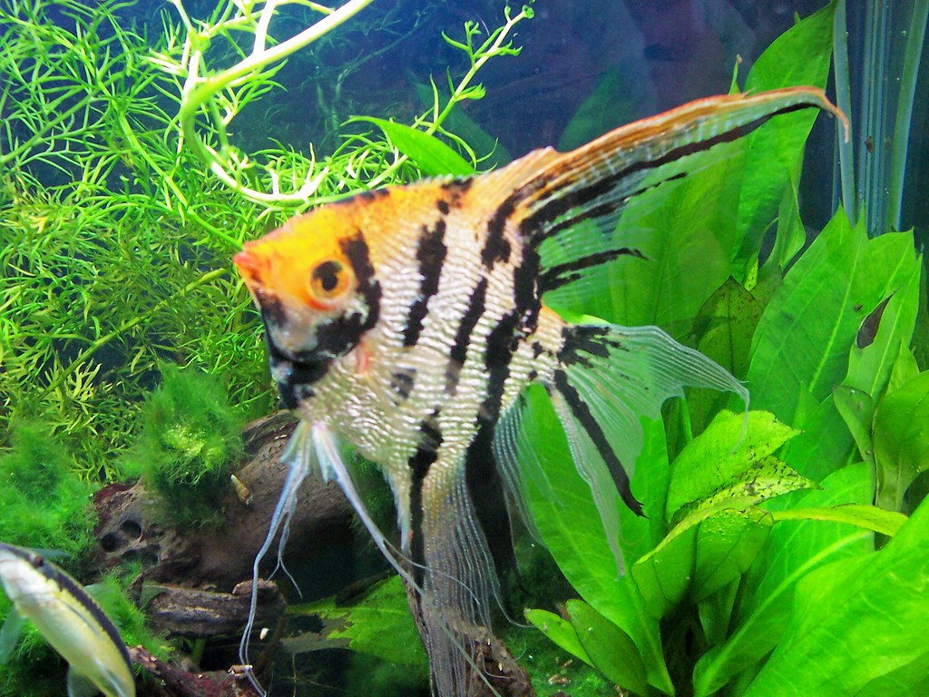 My angel fish in my 55 gallon freshwater aquarium www the for Freshwater angel fish