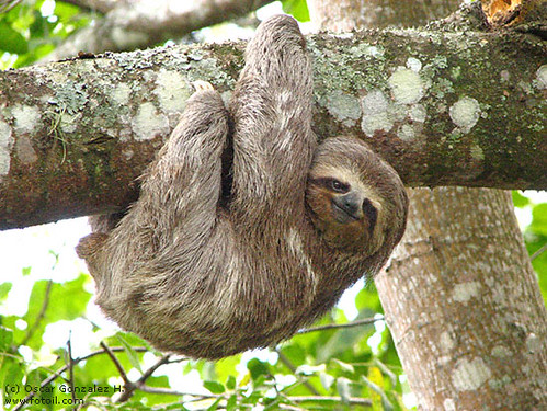 smiling sloth hanging from a tree smiling sloth hanging fr flickr
