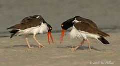 American Oystercatchers in Piping Display | by vanessa hilliard