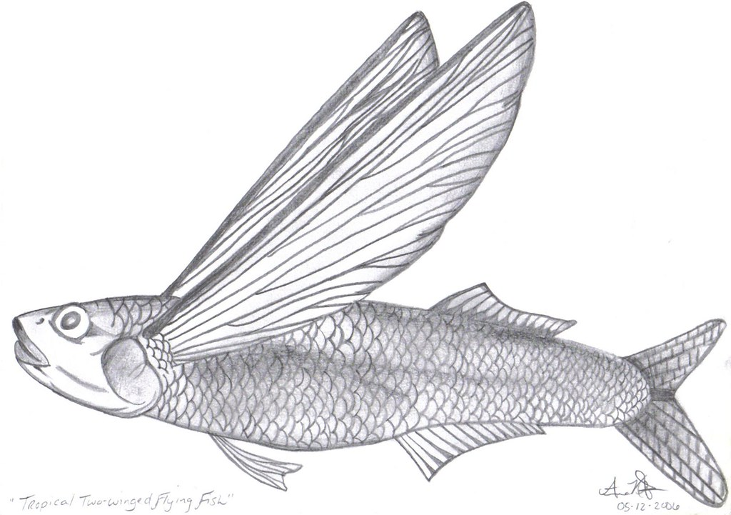 Tropical two winged flying fish all sketches are done by for Flying fish drawing