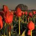 4.12 Tulips 25