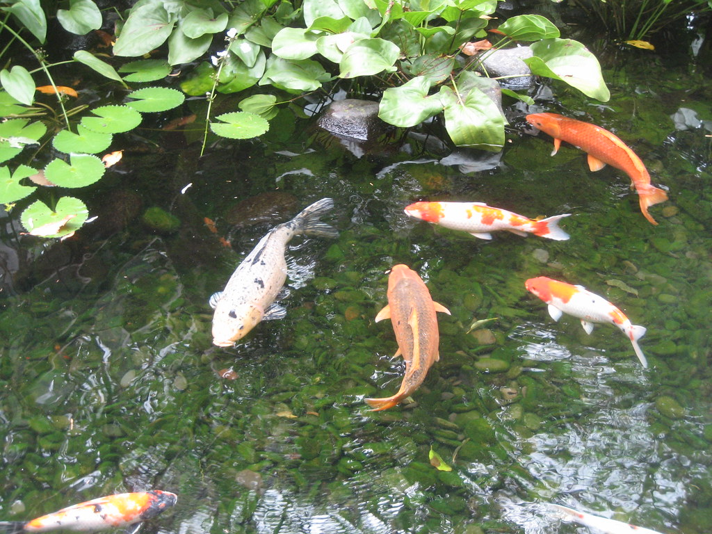 Koi pond at uma ubud peter laila flickr for Koi fish pond help