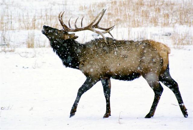 Elk tracks in snow  looduskalenderee
