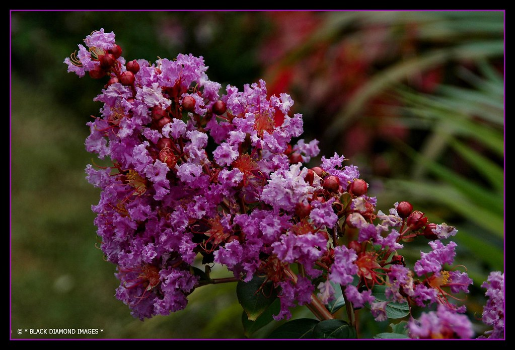 Lagerstroemia Indica 'Zuni' - Crape Myrtle   © All Rights ...