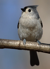 Tufted Titmouse 1 | by Bill D114