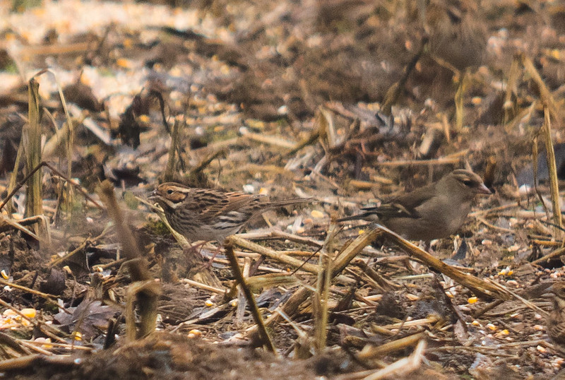 Little Bunting, Great Barford, 11th February 2017