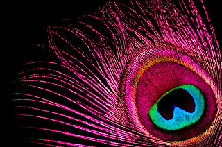 Pink Peacock ?  Like to see that ! | by TALL TIMBER STUDIO PTY LTD