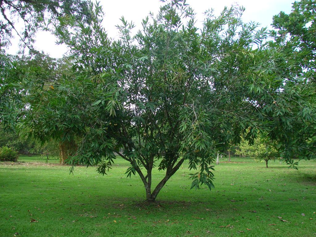 Pomarrosa Pommerose Malay Apple Malabar Plum Syzygium