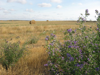 Saskatchewan field in August, Alfalfa Medicago sativa | by ocean.flynn