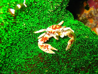 Red-spotted Porcelain Crab | by richard ling