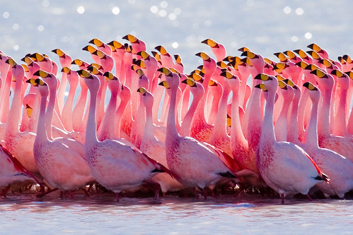 Flamingo | by szeke