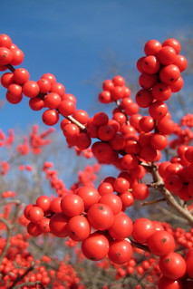 NYC - Bronx - New York Botanical Garden - Winterberries | by wallyg