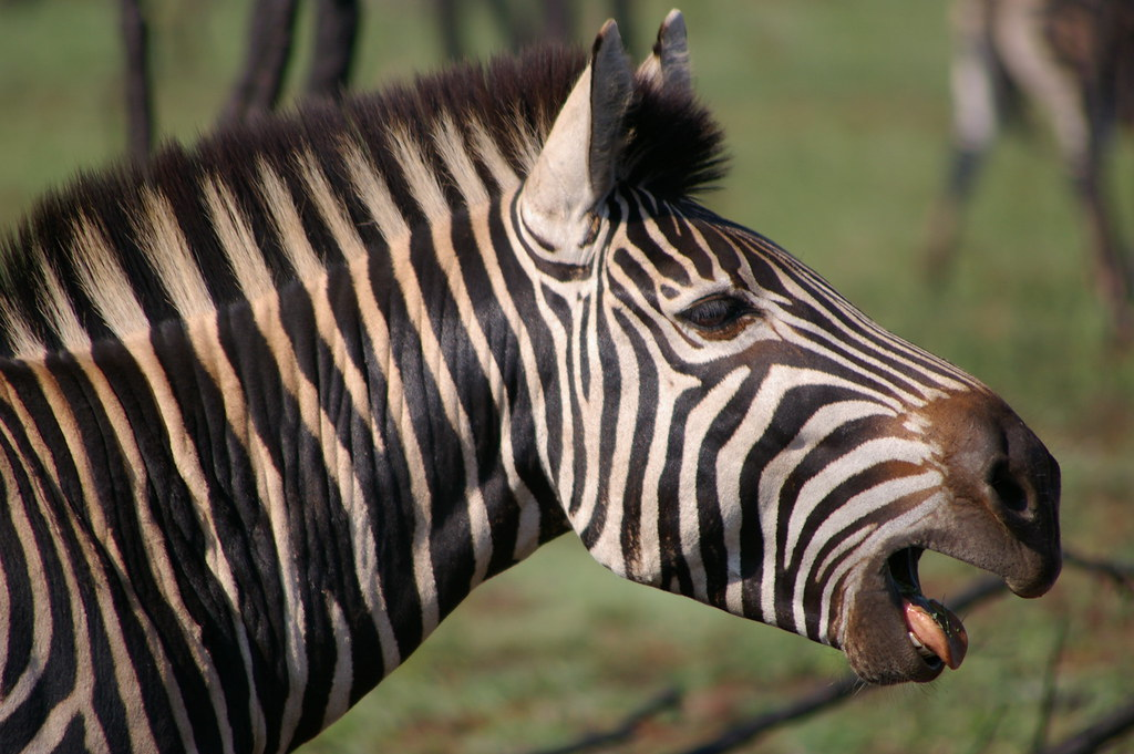 Kwagga! | (Well, actually, Zebra -- the Kwagga/Quagga is ...