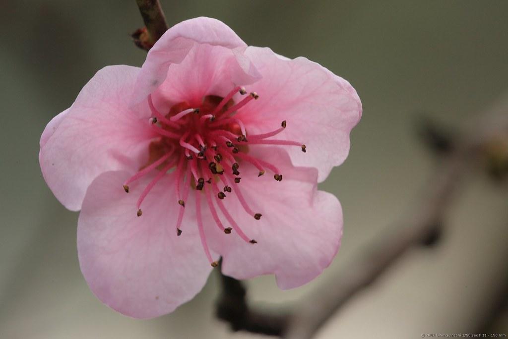Fiori rosa fiori di pesco colorati cos non ce ne sono - Immagini di fiori tedeschi ...