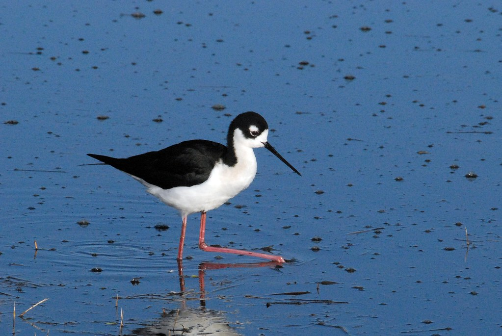 Black-necked Stilt (Himantopus mexicanus) DSC_0034 | by NDomer73